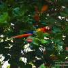 Postcard-Colorful Costa Rica's Scarlet Macaw