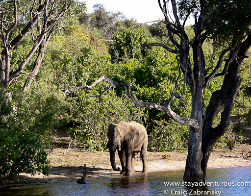 chobe botswana elephants