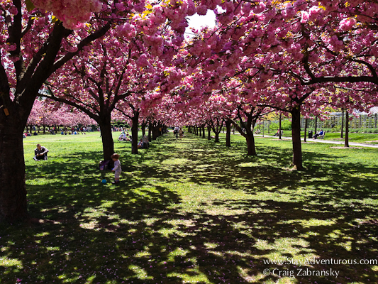 cherry blossom in full bloom at the brooklyn botanical garden