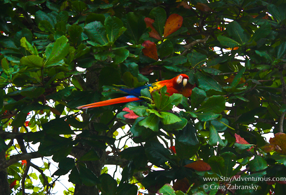 a scarlet macaw at el remanso lodge on the Osa Peninsula in Costa Rica