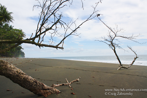 a tree on the osa peninsula beach in costa rica, it's pura vida