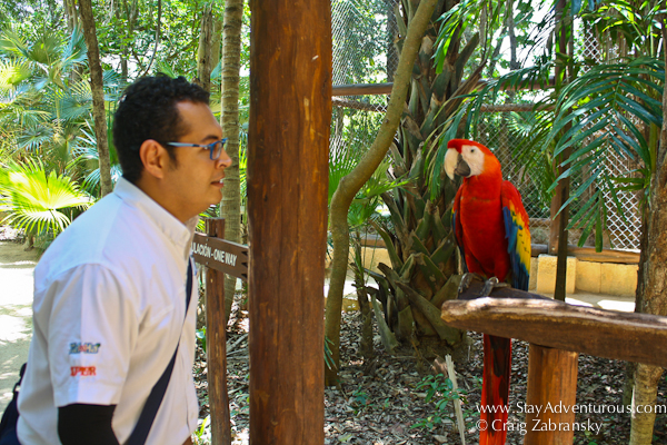 one of the many Scarlet Macaws inside Xcaret Park in the Riviera Maya of Mexico