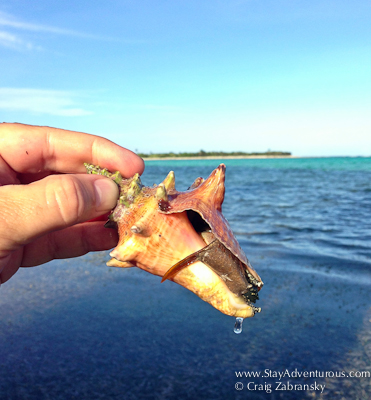 Conch from Soliman Bay, Riviera Maya, Mexico