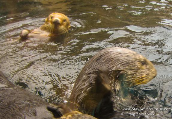 the California Sea Otter
