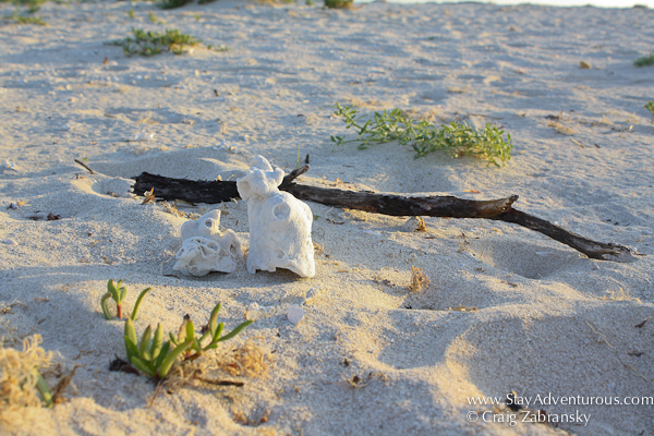 driftwood on the virgin beach along the gulf of Mexico at hotel xixim in celestun, yucatan, mexico