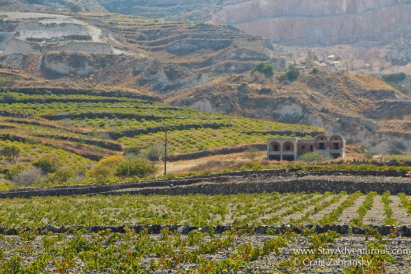 the fields of vines for wine on Santorini