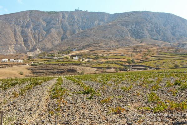 vineyards outside of Estate Argyros, Santorini