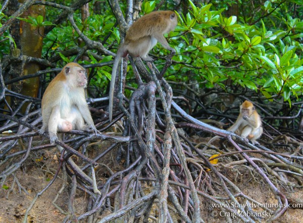 Monkeys-Mangroves-Langkawi-cZabransky