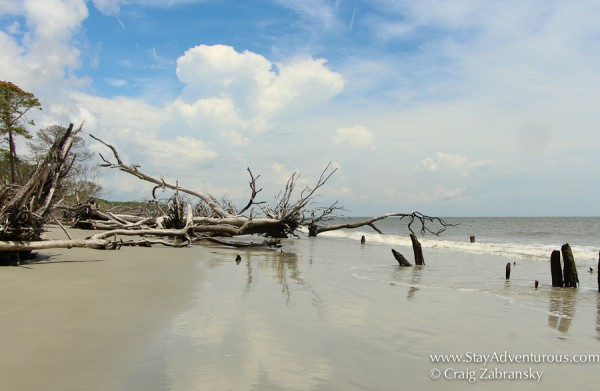 the trees, part of the beach erosion at Hunting State Park Beachin near Beaufort, South Carolina