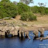The Thirsty Elephant Herd along the Chobe