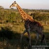The Giraffe – Big 5 Worthy in my Book