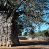 Africa's Upside Down Tree, the Skyline of a Namibian Village