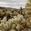 The Cholla Cactus Garden of Joshua Tree National Park