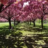 the Five-Photos from the Brooklyn Botanic Garden with Cherry Blossom in Peak Bloom