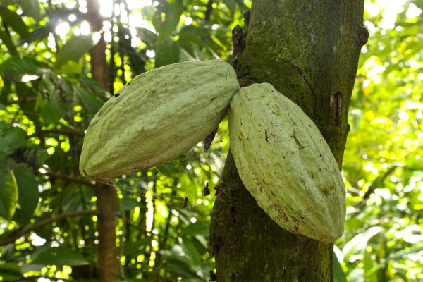 Cacao Fruit grows on a Cacao Tree in Tabasco, Mexico