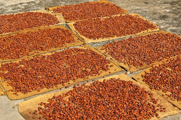 drying Nibs of Chocolate in Comalcalco, Tabasco Mexico at Hacienda La Luz