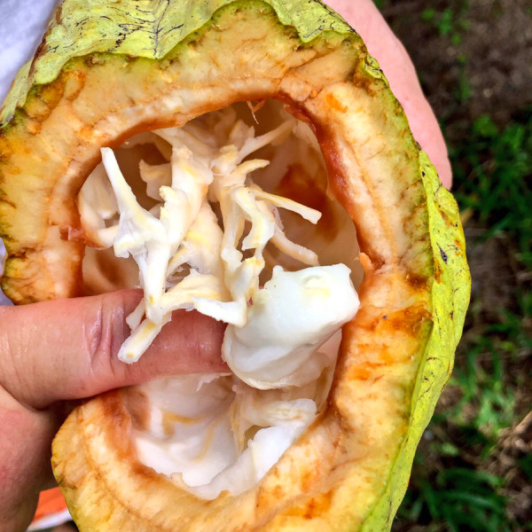 a look inside the Caco Fruit in Colmalco, Tabasco, Mexico at Hacienda La luz