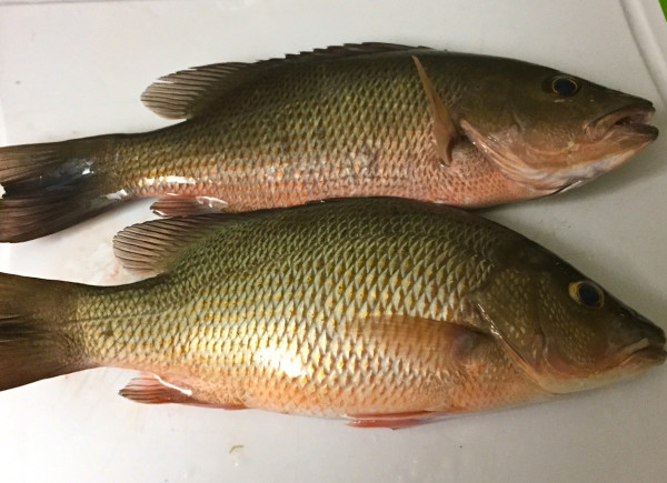 mangrove snapper-caught in the florida keys-islamorada