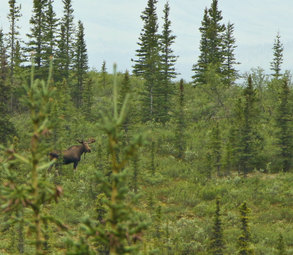 Moose spotted on the Denali National Park Bus Tour