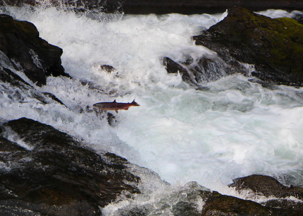 Watching the Salmon make the jump on the Kenai on the Peninsula in Alaska