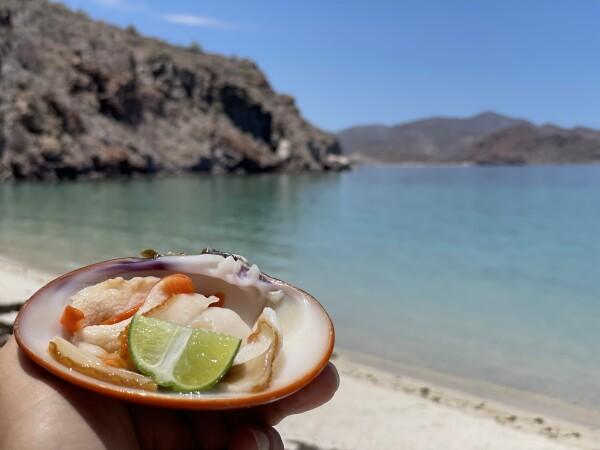 almejas rienas, the queen clams of loreto found in conception bay mulege baja california sur