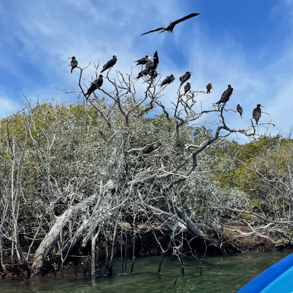 nest frigate birds on Magdalena Island in the Magroves by Puerto Adolfo Lopez Mateos Baja California Sur, Mexico